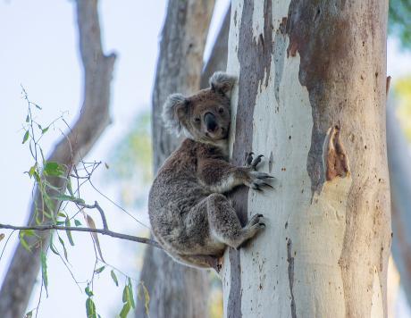 Koala Narrandera by Phil Williams